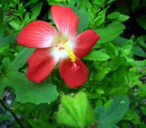 Sâm bố chính,vông vang,bố chính sâm,thổ hào sâm,sâm báo,Abenmoschus moschatus ssp. tuberosus (Span.) Borss,nhân sâm