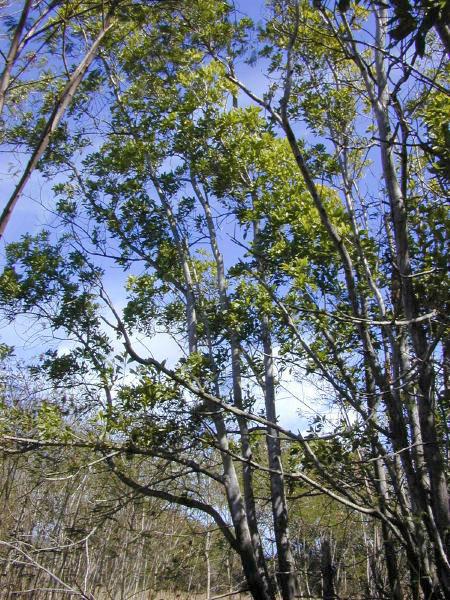 Keo tai tượng,keo lá to,keo đại,keo mỡ,keo hạt,cây keo,Acacia mangium,họ trinh nữ,Mimosoideae,cây lấy gỗ