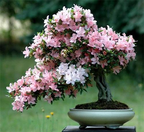 hoa đỗ quyên,Cây đỗ quyên,Cây đỗ quyên bonsai,đỗ quyên bonsai