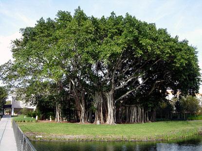 Cây đa già nhất thế giới ( Sacred Fig ) do con người trồng tại Sri Lanka