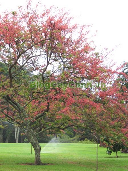 Cây Ô Môi,cây ô môi, hình ảnh cây ô môi, công dụng cây ô môi, cay o moi, cây ô môi chữa bệnh, cách trồng và chăm sóc cây ô môi,