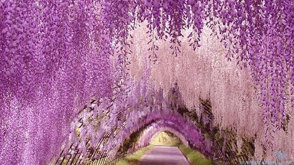 Đường hoa Tử Đằng ở Nhật Bản
