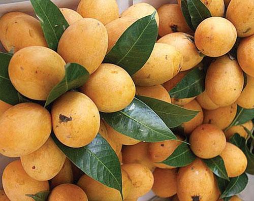 Thanh trà,cây thanh trà,Bouea gandaria Blume,Bouea macrophylla Griff,Anacardiaceae,Sapindales,Marian plum,Gandaria,Marian mango,Plum mango,cây ăn quả