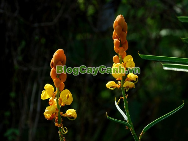 Cây Muồng Trâu,cây muồng trâu chữa bệnh, Cây Muồng Trâu, cây lác, cay muong trau, cây Muồng lác , cay muong lac,Cassia alata L.,họ Đậu,Fabaceae,