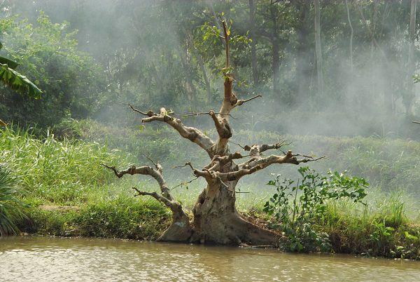 Bán cây sung đẹp ra trái tại Bình Định,Bán cây sung đẹp tại Bình Định,cây sung cảnh,cây sung đẹp,bán cây sung