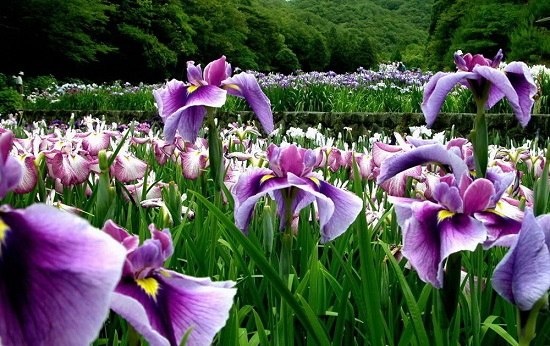 Kết quả hình ảnh cho hoa diên vĩ