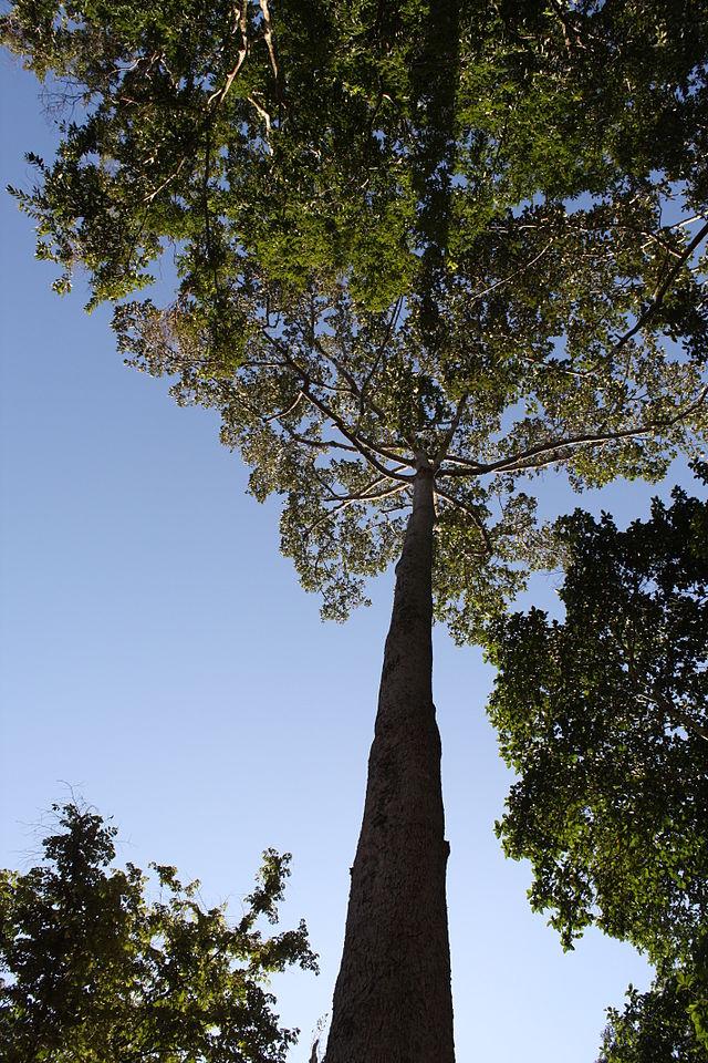 Dầu rái,cây dầu rái,dầu con rái,dầu nước,cây dầu nước,dipterocarpus alatus