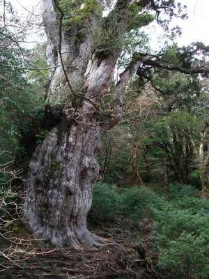 Cây Jomon Sugi (Nhật bản),cây nhiều tuổi nhất thế giới