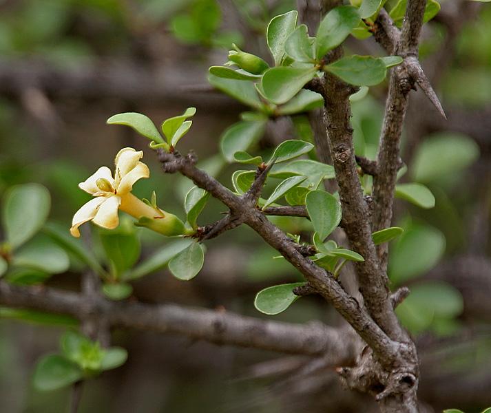 Găng trâu,găng tu hú,cây găng,cây găng trâu,cây găng tu hú,catunaregam spinosa,họ thiến thảo,rubiaceae