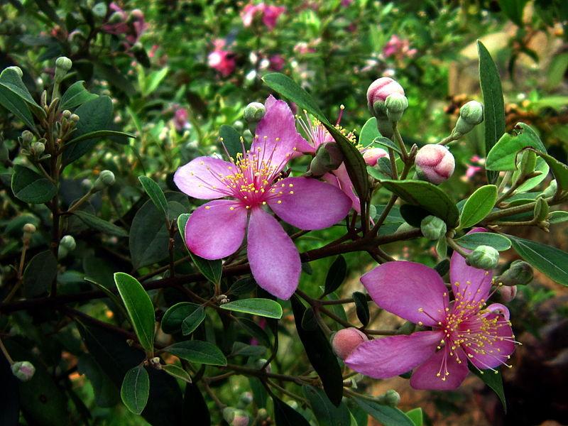 Hoa Sim,hoa sim tím,cây hoa sim,sim tím,hồng sim,đào kim nương,cương nhẫm,dương lê,Rhodomyrtus tomentosa,Myrtaceae