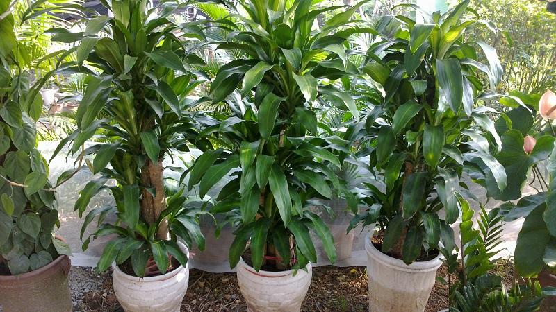 Thiết mộc lan,thiet moc lan,phat loc,phát lộc,phát tài,phất dụ thơm,Dracaena fragrans,Dracaena deremensis,tóc tiên,Ruscaceae,cây ngày Tết,cây phong thủy,ý nghĩa cây thiết mộc lan