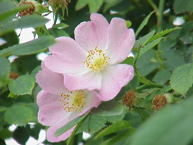Tầm xuân,hoa tầm xuân,hoa ngày tết,ý nghĩa hoa tầm xuân,chuyện kể về hoa tầm xuân,nụ tầm xuân,bài thuốc chữa bệnh từ tầm xuân,cây tỉ muội,tác dụng của tầm xuân,Rosa canina L