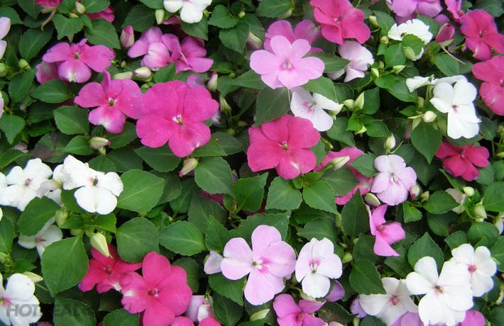 Ngọc thảo,hoa ngọc thảo,hoa chân nến,ngọc thảo kép,hoa ngọc thảo kép