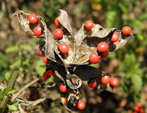Cam thảo,cây cam thảo,cam thảo dây,cườm thảo đỏ,chi chi,cườm cườm,tương tư đằng,tương tư thảo,cảm sảo,hương tư tử,Abrus precatorius,cây độc dược,cây thảo dược,cây làm thuốc