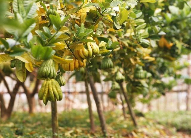 Cây Phật thủ,phật thủ,truyền thuyết cây phật thủ,ý nghĩa cây phật thủ,Citrus limonimedica,Citrus medica,Citron,cây ngày tết,cây ăn quả,cây phật thủ ngày Tết