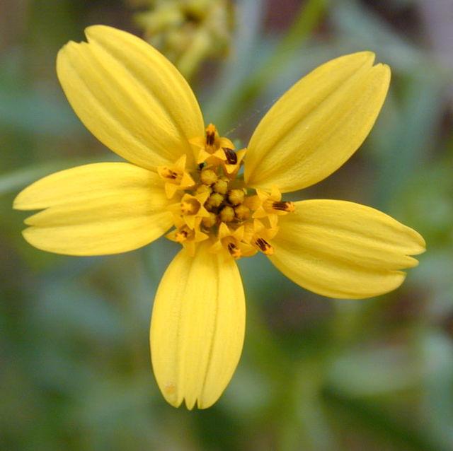 Một cụm hoa dạng đầu điển hình trong họ Cúc (ở đây là Bidens torta) chỉ ra các hoa riêng rẽ.