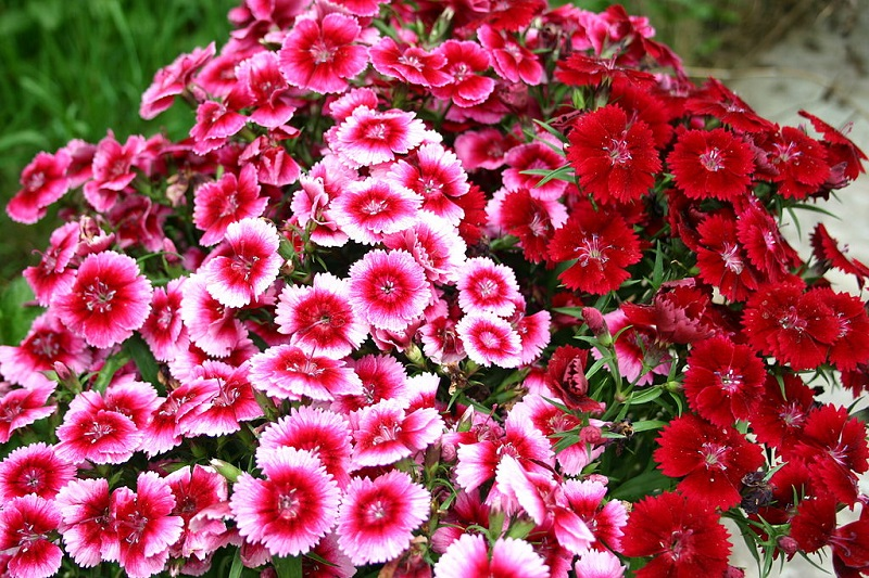 Hoa cẩm chướng,Hoa cẩm chướng thơm lùn,Dianthus barbatus