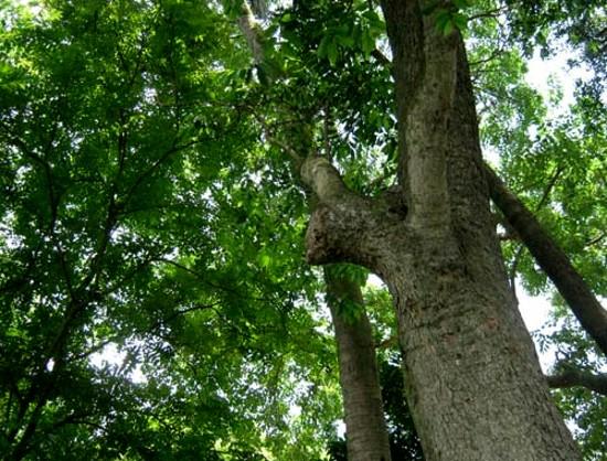 Giáng hương,dáng hương,cây giáng hương,cây dáng hương,giáng hương quả to,giáng hương căm-pôt,giáng hương chân, song lã,pterocarpus macrocarpus,họ đậu,Fabaceae,Leguminosae,công dụng của giáng hương,cây gỗ quý nhóm 1