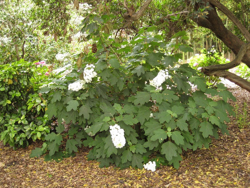 Cẩm tú cầu lá sồi,cam tu cau la soi,hoa cẩm tú cầu,họ cẩm tú cầu,Hydrangea quercifolia