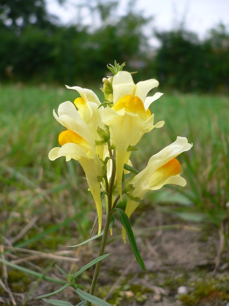 Hoa hoàng ngư,hoa kim ngư,Linaria vulgaris,Linaria,hoa mõm chó,họ mã đề,Plantaginaceae Juss
