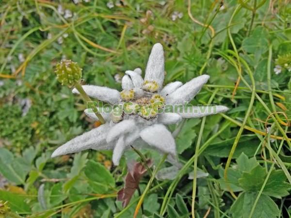 Cây Hoa Nhung Tuyết (Cây Hoa Thùy Trinh),cây hoa nhung tuyết,họ Cúc, Edelweiss, họ Asteraceae, Leontopodium, Leontopodium alpinum, quốc hoa thụy sỹ, công dụng cây hoa nhung tuyết, cây hoa nhung tuyết sống ở đâu, cây hoa thùy trinh, cay hoa nhung tuyet, cây nhung tuyết, nhung tuyết,