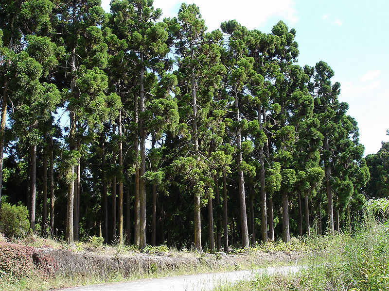 Liễu sam,liễu Nhật Bản,cây liễu,Cryptomeria,họ Hoàng Đàn,Cupressaceae,Cryptomeria japonica,Cupressus japonica L.f,Một cánh rừng liễu sam