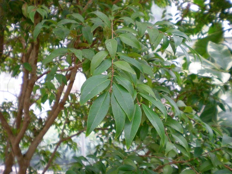 Cây nho thân gỗ,nho thân gỗ,plinia cauliflora,jabuticaba,cây nho,họ đào kim nương,myrtaceae,cây ăn quả