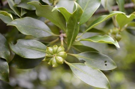Đại hồi,đại hồi hương,hồi hương,bát giác hồi hương,cây hồi,tai vị,cây tai vị,Illicium verum,hồi Nhật Bản,Illicium anisatum,hồi núi,Illicium griffithii