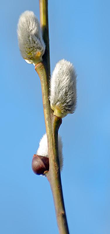 Chi liễu,cây liễu,các loài liễu,Salix,cây ngoại thất,cây phong cảnh,Hoa liễu đuôi sóc (Salix discolor)