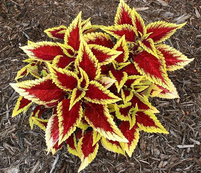 Lá gấm vàng,tía tô cảnh,Acanthaceae
