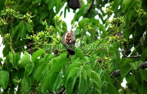 Cây Gõ Đỏ (Cây Hổ Bì),cay go do, gỗ gõ đỏ, cây gõ đỏ, giá trị cây gõ đỏ, họ Đậu, họ Fabaceae, cây cà te, cây hổ bì, Afzelia xylocarpa, cây gõ đỏ đẹp,