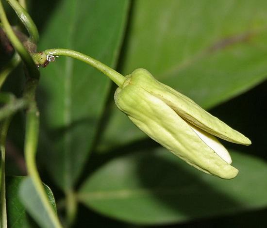 Hoa cây na