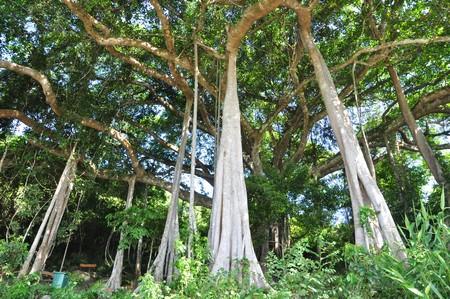 """Cây đa """"bách niên đại thụ"""" ở bán đảo Sơn Trà đang được TP Đà Nẵng lập hồ sơ đề nghị xét công nhận là """"cây di sản Việt Nam"""""""