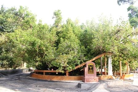 """Cây bạch mai khổng lồ được công nhận là """"cây di sản Việt Nam"""""""
