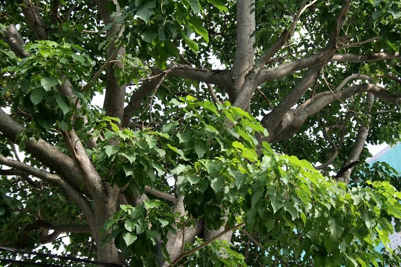 Vông đồng,cây vông đồng,cây vông,hura crepitans,hura brasiliensis wild,họ Đại kích,Euphorbiaceae