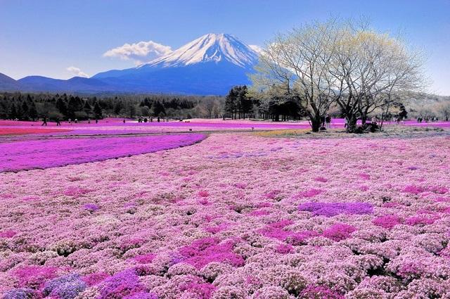 Hoa shibazakura trong công viên Takinoue, Nhật Bản