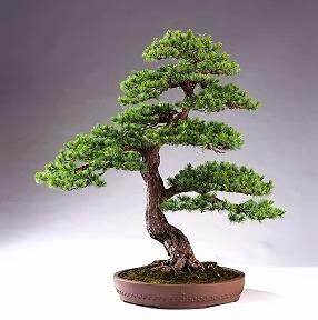 Nghệ thuật cây cảnh bonsai