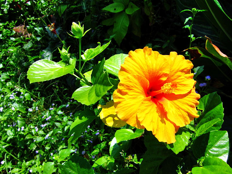 Dâm bụt,Dâm bụt,hoa dâm bụt,hoa dâng bụt,hoa râm bụt,bông bụp,bông lồng đèn,mộc cận,chu cận,đại hồng hoa,phù tang,hoa phù tang,phật tang,hoa phật tang,các loài hoa dâm bụt,dâm bụt thường,dâm bụt kép,dâm bụt có quả không,Hibiscus rosa-sinensis,ý nghĩa hoa dâm bụt,ý nghĩa hoa râm bụt,sự tích hoa dâm bụt,sự tích hoa râm bụt,họ bông,họ cẩm quỳ,Malvaceae