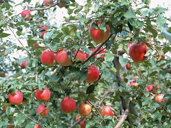Cây táo tây