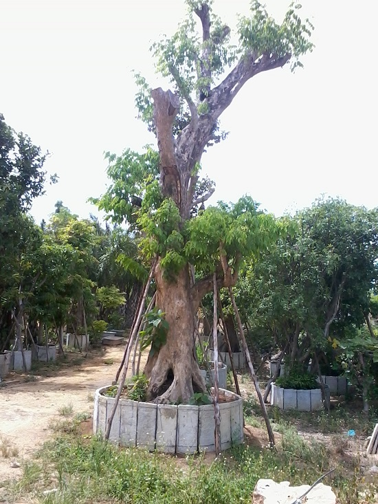 Cây xanh Quảng Nam