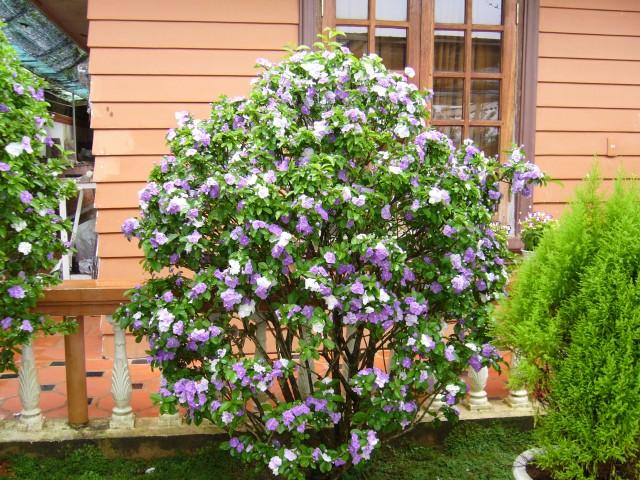 Hoa nhài Nhật,hoa Lài Nhật,nhài Nhật,lài Nhật,hoa nhài,hoa lài,lài hai màu,cà hoa xanh,Brunfeldsia hopeana Benth