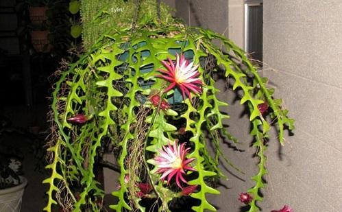 Hoa quỳnh đỏ mexico,hoa quỳnh đỏ,hoa quỳnh