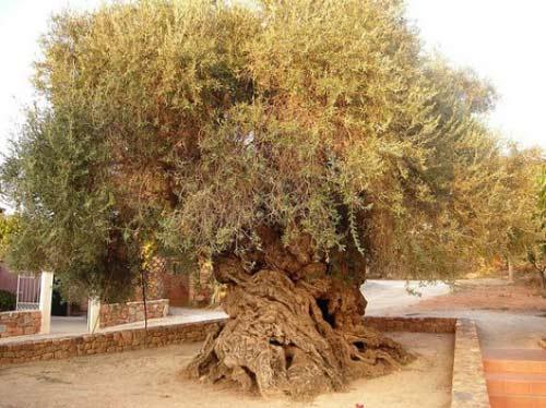 Ô liu,cây ô liu,oliu,olive,Olea europaea,họ Ô liu,Oleaceae,Cây ô liu Vouves