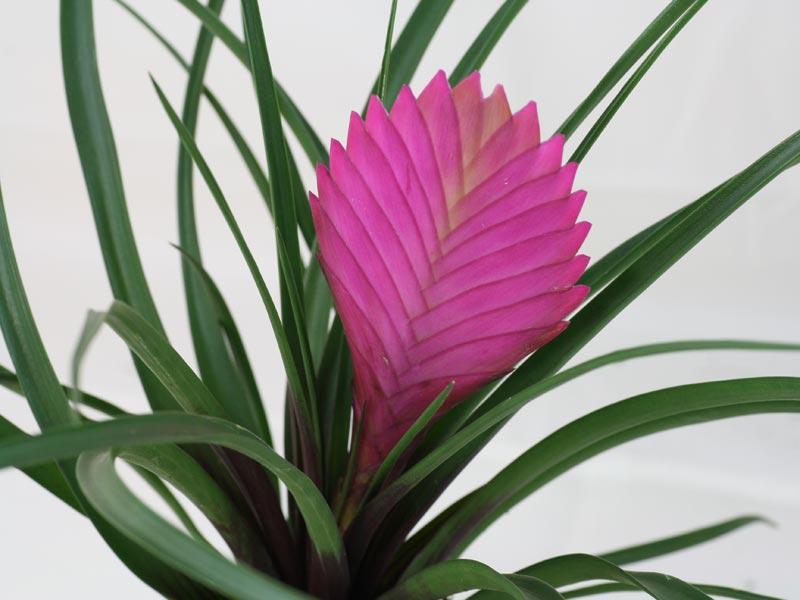 Cây quạt ba tiêu,hoa quạt ba tiêu,quạt ba tiêu,Tillandsia cyanea,Pink Quill,họ dứa,Bromeliaceae,Tillandsioideae