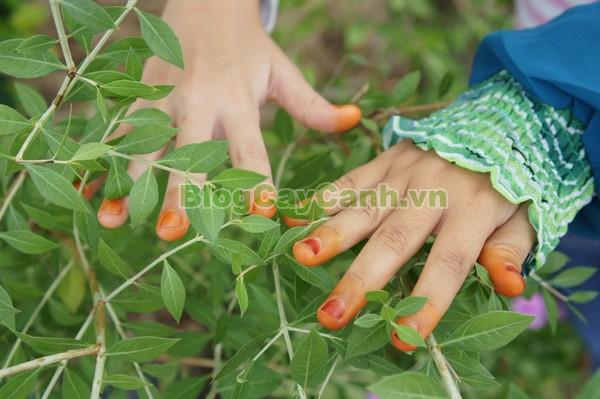 Cây Henna (Cây Lá Móng),cây henna, cây lựu mọi, tác dụng cây henna, Lawsonia inermis, công dụng cây henna, thuốc mọi lá lựu, chỉ giáp hoa, phương tiên hoa, tán mạt hoa, cây khau thiên, kok khau khao youak, cây khoa thiên, henna, cay henna, cây lá móng, Cây móng tay nhuộm, cây lá móng tay, cây thuốc mọi,