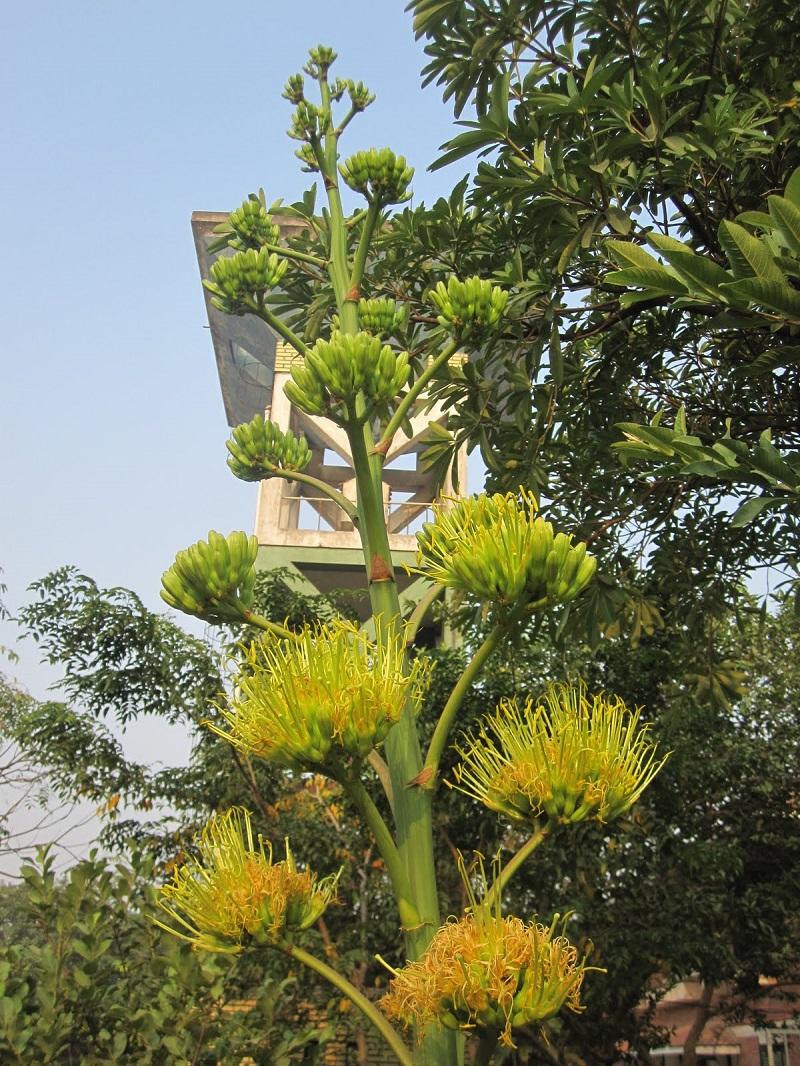 Dứa Mỹ,cây dứa mỹ,dứa sợi mỹ,Agave americana