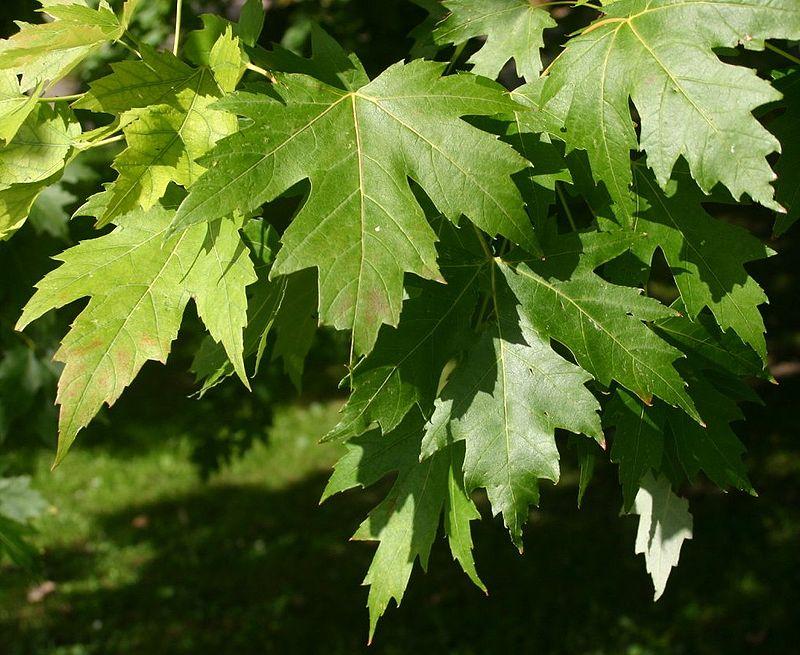 Lá cây phong bạc (Acer saccharinum)