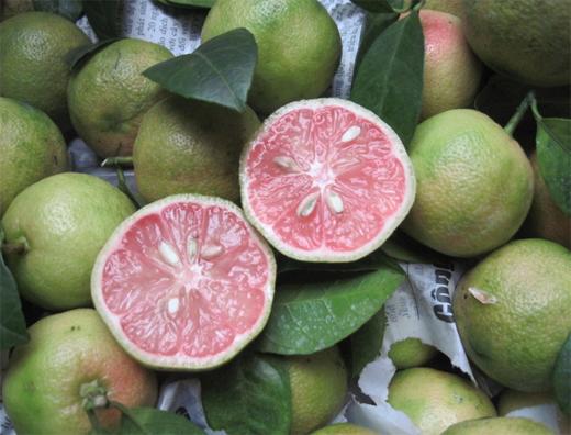 Chanh đào,cây chanh đào,cây chanh,Citrus aurantifolia