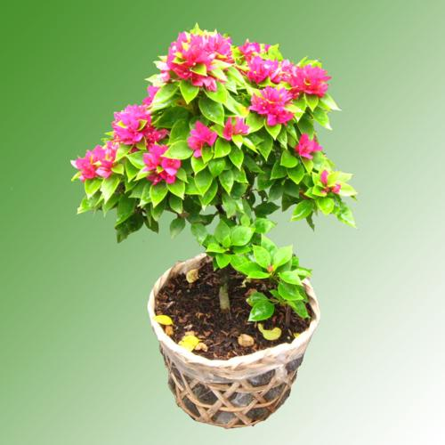 Hoa giấy,cây hoa giấy,cây bông giấy,bông giấy,Buogainvillia spectabilis willd,Bougainvillea