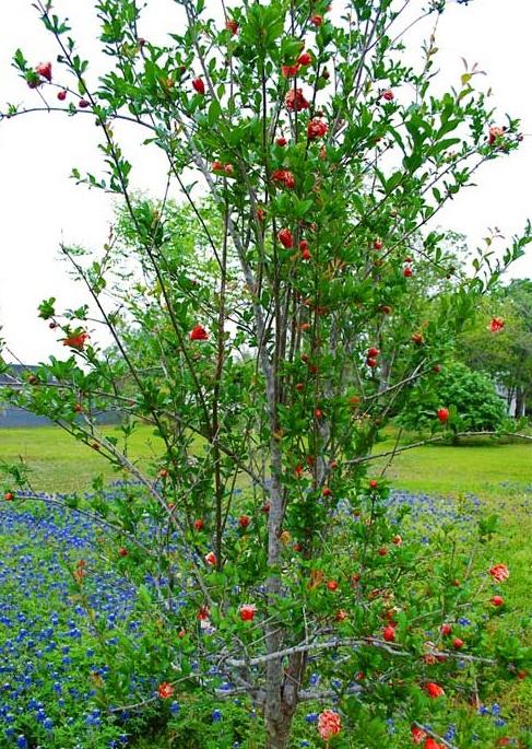 Kết quả hình ảnh cho cây hoa hạnh